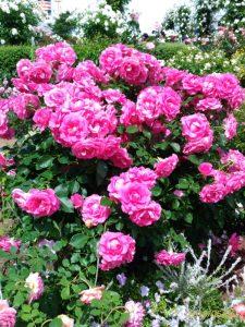 神奈川の横浜でとらえた「美しい薔薇」